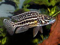 Cichlid Aquarium, Aquarium Fish, Lake Tanganyika, African Cichlids, Guppy, Beautiful Fish, Aquariums, Tropical Fish, Sea Creatures