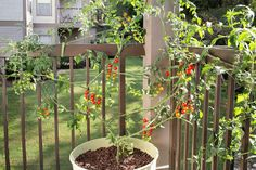How to Grow Tomatoes in Pots: cherry tomato growing on deck railing