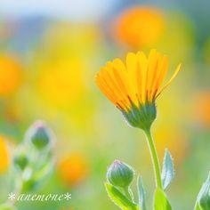 #キンセンカ#Calendula#flower