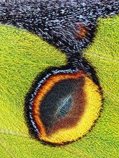 Eyespot on the forewing of an African Moon Moth (Argema mimosae) | Jim Hoffman, PhotoNet