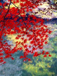 #Japan autumn leaves