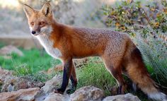 images of red fox | ... , October 22, 2012 in Animals Nature Red Fox Wildlife | Comments : 0