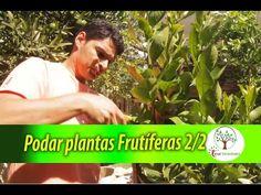 2/2 Podar Plantas Frutíferas em casa, Laranja, Limão, Acerola e outras - YouTube