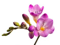 Freesia Pictures, Images and Stock Photos - iStock