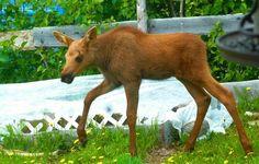 Baby moose-Fritz Creek, Alaska