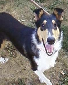 Smooth Collie dog photo | Collie, Rough Collie, Smooth Collie, Collies