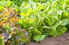 """Leaf Lettuce (Lactuca sp.)  Annual, ruffled leaves from 6-18"""" H x 6-18"""" W  With so many types available, you'll never have to eat the same salad twice!  If your winter is cold, start seeds indoors, if not feel free to sow directly.  Lettuce like part shade or protected areas.  If left in full sun, it will bolt and you won't want to eat any of it.  Loose-leaf lettuce can be harvested by pulling a few leaves off as needed  Try these varieties; Freckles, Gourmet Mesclun Mix, RedOak Leaf, Black…"""