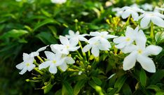 Jasmine flowers bring a wonderful floral scent to any garden and home. Here are our best tips for how to plant, grow and care for jasmine. Get growing today! Plante Jasmin, Organic Gardening, Gardening Tips, Desert Gardening, Indoor Gardening, Indoor Flowering Plants, Jasmine Plant Indoor, Air Plants, Smelling Flowers