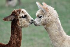 nuzzling noses.
