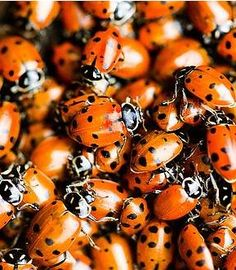 How to Start a Ladybug Garden  http://www.howdididoit.com/home-garden/how-to-start-a-ladybug-garden/