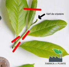 Varf de crestere butas magnolie Permaculture, Wisteria, Plant Leaves, Home And Garden, Gardening, Decor, Plant, Magnolia, Dekoration