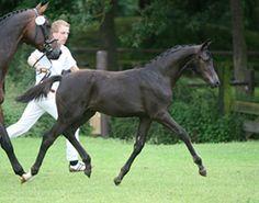 Top selling kwpn foal... hercules. Gorgeous.