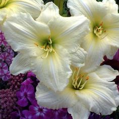 Sunday Gloves Daylily - Midseason Daylilies - Daylily Lovers - A Spring Hill Nursery Store Shade Flowers, Large Flowers, Beautiful Gardens, Beautiful Flowers, Reblooming Daylilies, Spring Hill Nursery, Border Plants, Sun Perennials, Planting Bulbs