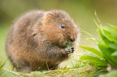 """August 15: """"Save the best for the end. If their breeding season has been successful, Rainham's water voles should be plentiful. Where channels cut through the reeds, approach quietly. Scan the edges and listen for nibbling."""" A Summer of British Wildlife; www.bradtguides.com #100dayswild 4 Hours Of Sleep, Munch Munch, Wild Waters, Sleep Help, British Wildlife, Summer Sky, Woodland, Nom Nom, Sunrise"""