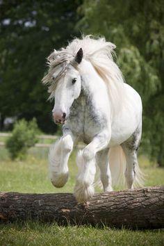 'Tinker Samira ~ Christiane Slawik'  Another name for Gypsy Horses is a Tinker Horse, in Ireland.
