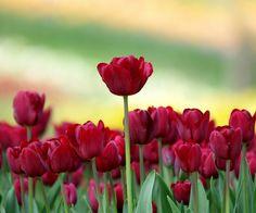 tulipanes para fondo de pantalla - Pesquisa Google