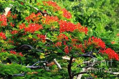 The Flamboyan is one of the loveliest trees in the Caribbean and is Puerto Rico's national tree.