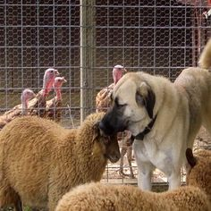 Choosing a Livestock Guard Dog Breed: Part One - Homesteading and Livestock - MOTHER EARTH NEWS