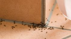 If the heat of summer is bringing ants into your home and yard, don't panic. You may not require toxic pest control products or a professional service to Get Rid Of Ants, Household Pests, Household Tips, Types Of Insects, Pest Management, Pest Control Services, Bug Control, Garden Guide, Humming Bird Feeders