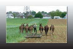 http://www.easternctdrafthorse.com/mule.jpg