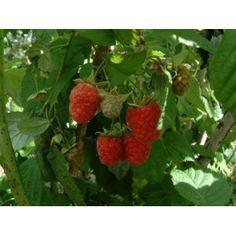 Rubus idaeus 'Glen Prosen'