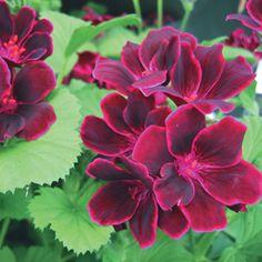 Geranium 'Lord Bute' - Regal Pelargoniums - The Vernon Geranium Nursery