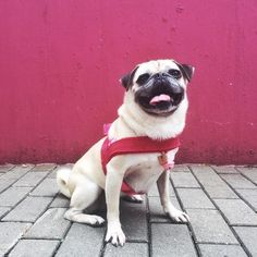 Toffee in a pink Leaves Dog Harness in Hong Kong | MissFlo | Pug