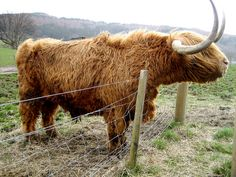 Scottish Highland Cattle by Katie Commender, via Flickr