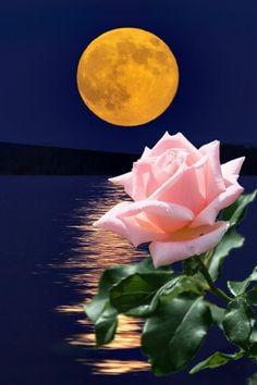 Beautiful Moon, Beautiful Roses, Good Morning Arabic, Moon Quotes, Moon Rise, Rose Photos, Pretty Roses, Moon Child, Fresh Flowers