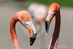 Phoenicopterus Ruber Ruber, American Flamingo, Caribbean Flamingo Pair Head Deatil Stock Image - Image of portrait, white: 71010215 Flamingo, Caribbean, Pairs, Stock Photos, Portrait, American, Nature, Animals, Image