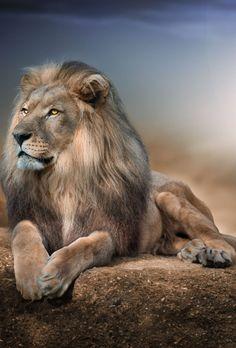 The lion king Wild Animals Pictures, Lion Pictures, Animal Pictures, Beautiful Lion, Animals Beautiful, Animals And Pets, Cute Animals, Lion Photography, Lions Photos