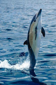 Short beaked dolphin