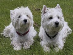 Afbeeldingsresultaat voor foto's West Highland white terrier