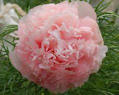 peonies and hydrangeas Peonies And Hydrangeas, Peonies Garden, Pink Peonies, Dahlias, Carnations, Amazing Flowers, Pink Flowers, Beautiful Flowers, Paeonia Tenuifolia