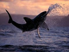 Great White Shark, National Geographic  #photography #shark #nature #nationalgeographic