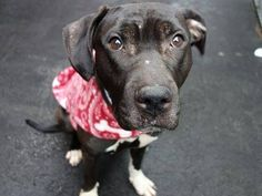SAFE 12/30/14! was TO BE DESTROYED 12/30/14 Manhattan Center -P My name is SERENDIPITY. My Animal ID # is A1023208. I am a female brown and white american staff mix. The shelter thinks I am about 5 YEARS old. For more information on adopting from the NYC AC&C, or to find a rescue to assist, please read the following: http://urgentpetsondeathrow.org/must-read/