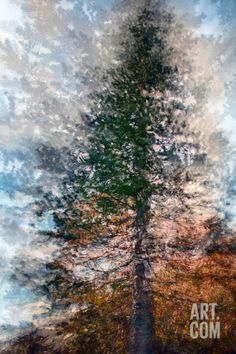Fir Photographic Print by Ursula Abresch at Art.com