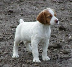 Brittany Spaniel Pup ~ Classic Look Puppies And Kitties, Cute Puppies, Doggies, Kittens, Brittany Spaniel Puppies, Tennessee Walking Horse, Hunting Dogs, I Love Dogs, Best Dogs