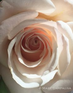 Studio Colette :: Digital Fine Art - Blooms Gallery: Between the Spaces Pink Rose