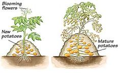 How to plant potatoes.
