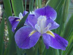 4-10-16 ---La. iris