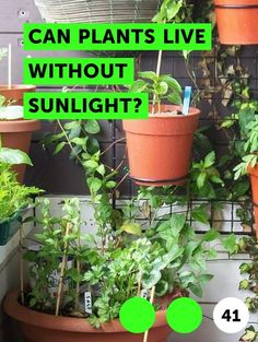 Doing some organic gardening is ideal and these tomatoes gardening tips are some of the best you will come across. Growing tomatoes in pots is ideal if you are suffering from limited garden space. If you are into the hobby of home gardening or Mammoth Sunflower, Dogwood Trees, Growing Mushrooms, Ivy Plants, Inside Plants, Pepper Plants, Tomato Cages, Growing Tomatoes, Growing Vegetables