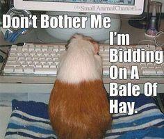 Guinea Pig Wheek-Ends.... Lol