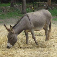 Donkey Pretty Animals, Animals Beautiful, Burritos, Donkeys, Hd Images, My Animal, Farm Animals, Unit Studies, Eeyore