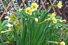 Fragrant daffodils, narcissi, and jonquils I thought digging up the lawn was hard work – try planting 150 daffodils in heavy clay/gravel with a bad back! Liquid Fertilizer, Clay Soil, Spring Bulbs, Replant, Pink Petals, Shade Plants, Growing Flowers, Pacific Coast, Amazing Flowers