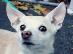 TO BE DESTROYED - 12/12/14 Manhattan Center   My name is DON. My Animal ID # is A1022399. I am a male tan chihuahua sh mix. The shelter thinks I am about 5 YEARS old.  I came in the shelter as a OWNER SUR on 12/05/2014 from NY 10027, owner surrender reason stated was ALLERGIES.