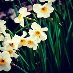 Blackberry Farm: Spring Daffodils www.blackberryfarm.com