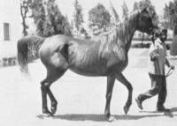 MABROUKA chestnut. M, 1951 by SID ABOUHOM ex MONIET EL NEFOUS | bred by EAO in Egypt. When bred to Nazeer she bacame dam of legenday pilar of Egyptian show breeding: MORAFIC. Grand-Dam of over 40 US National Champions