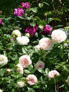Les belles roses du jardin du Palais Royal (Paris 1er)