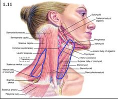 Front Neck Pain when Swallowing after Squat - Powerlifting and Weightlifting - Nerd Fitness Rebellion Hip Muscles Anatomy, Neck Muscle Anatomy, Human Body Anatomy, Human Anatomy And Physiology, Gross Anatomy, Muscles Of The Neck, Medical Massage, Skeletal Muscle, Medical Anatomy